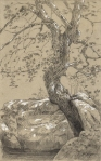 """Sword in the Stone"" red maple, Petersham. Graphite and chalk on paper 7 1/2"" x 12"""