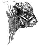 Steer Head