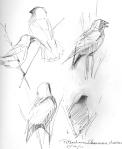 More bobolink studies