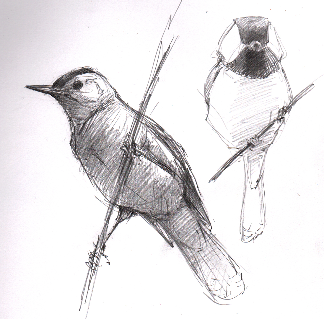 Chickadee Drawing Black-capped chickadee Black Capped Chickadee Drawing