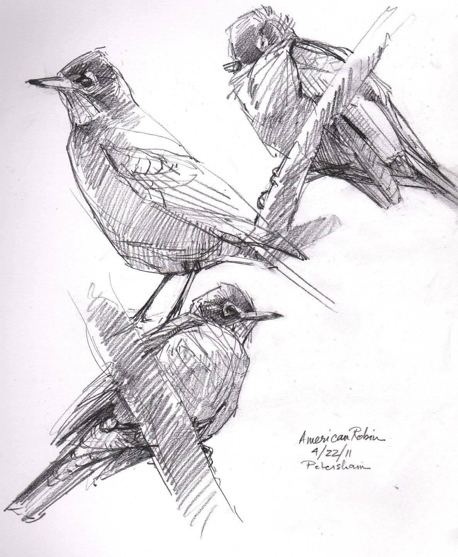 American Robin Drawing American Robin Studies
