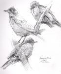 American robin studies