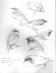 warblers: chestnut sided, blackthroated green, yellow-rumped