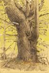 Wolf Pine, Petersham, SpringA