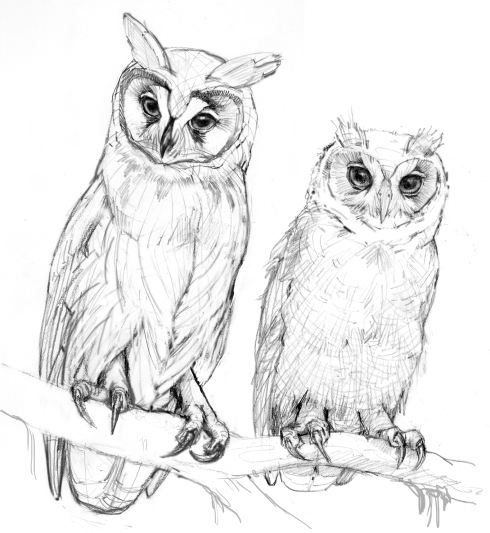 Sketches from the archives, Striped owls (adult and juvenile). Pencil on paper.