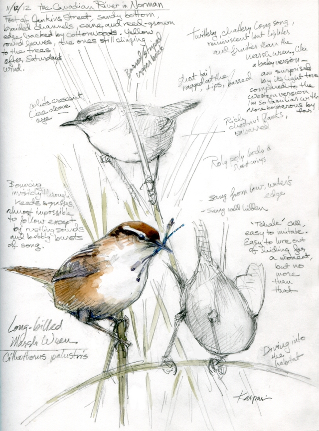 "Marsh Wrens, Canadian River. The landowner welcomes birders, turns back most everyone else. His black angus bull didn't like me much, though. Watercolor over pencil in Stillman & Birn Epsilon sketchbook, hardbound 8 1/2"" x 11""."