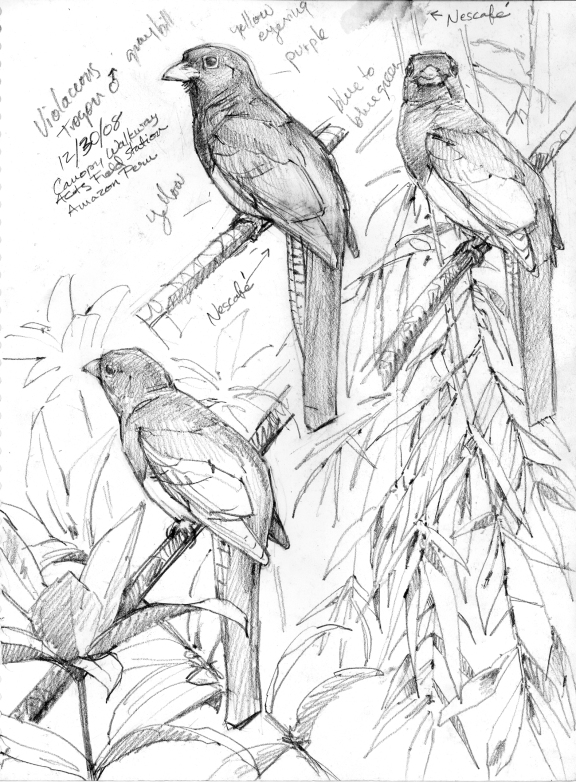 Nope, no quetzal here. More violaceous trogons. Peruvian Amazon life drawing.