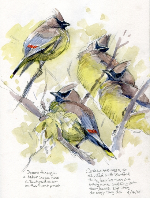 Cedar waxwings keen perched on nearly bare twigs in a Caddo maple out front. Drawing birds through a scope can be a challenge, but in early spring the tiny leaves and frilly maple flowers reveal and frame them in pale green. And  bellyfuls of berries keep them stupefied. Easy to draw like that.