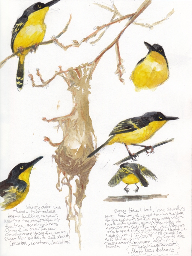 "Common tody flycatchers, no bigger than a bee sting, built a hanging nest of balsa fluff and plant fibers. Shortly after I made this sketch, they moved- building a new nest with a better canal view. Location, location, location. Watercolor over pencil on S&B Alpha series 8 1/2"" x 11""."