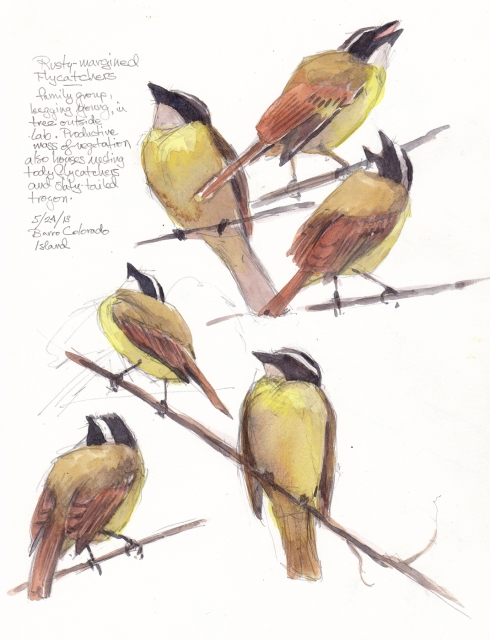"Rusty-margined flycatchers, parent and baby and lots of noise and drama out of these guys. Note the pink-lined mouth of the begging fledgling. Watercolor over pencil, drawn through scope, S&B Alpha Series 8 1/2"" x 11""."