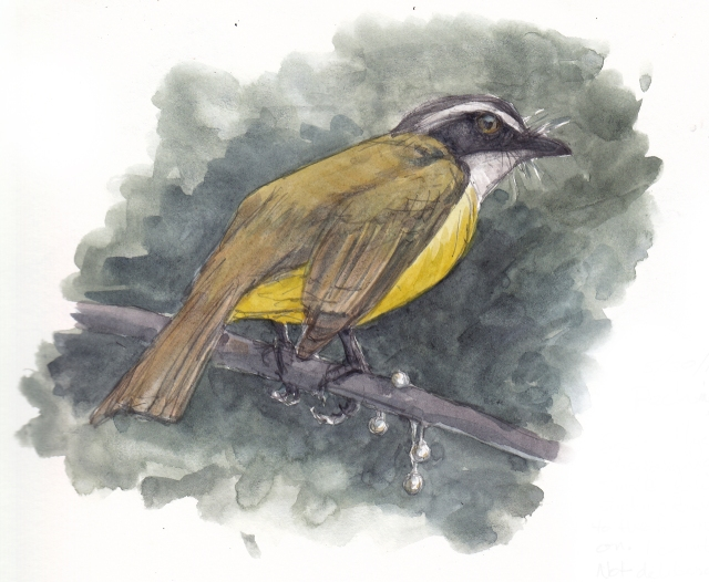 Social flycatcher dropping pearls of wisdom, er, seeds from some plant, possibly a vine or bromeliad. Watercolor over pencil, S&B Alpha series.