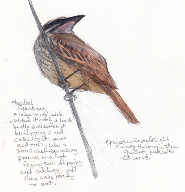 "Streaked flycatcher, mouthing off at the rest of the world. Flycatchers are nothing if not talkers. Watercolor over pencil on S&B Alpha Series 8 1/2"" x 11."