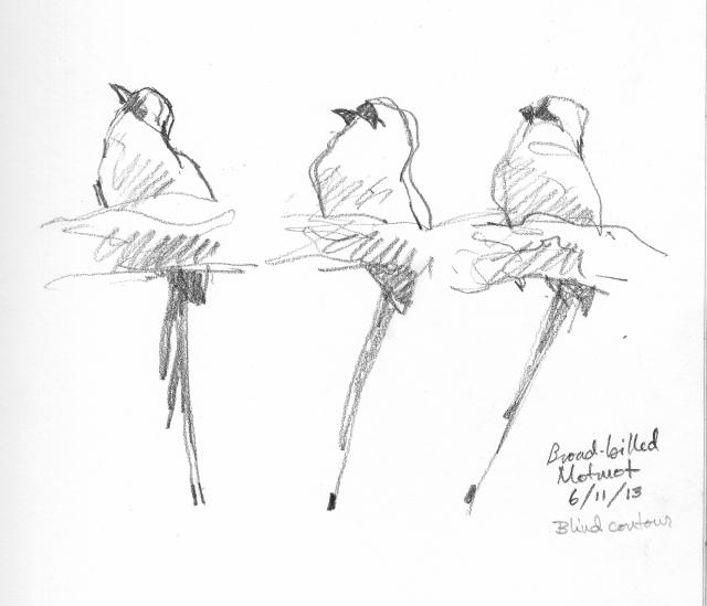 "Broad billed motmot, three poses, one bird. Drawn through the scope. 6B pencil on Robert Bateman sketchbook 8 1/2"" x 11"". Barro Colorado Island."