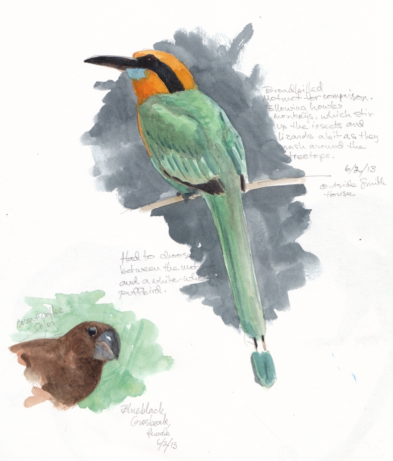 Broad-billed motmot, drawn through binoculars, watercolor over pencil, Barro Colorado Island, Panama 2013