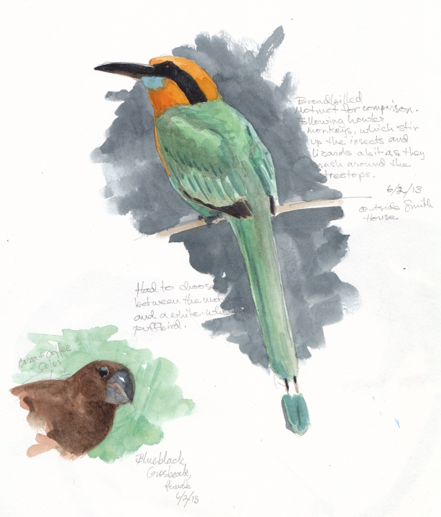 "Broad billed motmot, really similar to Rufous but smaller, has a blue chin and a different call, more like a toy train whistle and less like a double owl hoot. Usually not too picky about being looked at, either. Oh, and the blue black grosbeak head study is a female (she is brown; the male gets the glory as usual). It's a nice little understory bird with a nearly parrot-like finch bill. Watercolor over pencil, S&B Alpha Series 8 1/2"" x 11"". Barro Colorado Island, Panama."