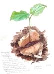 Cavenillesia platanifolia