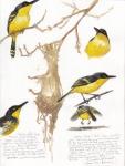 Common Tody Flycatcher