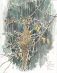 Common Tody Nest