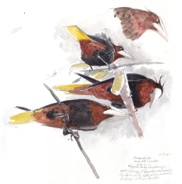 Male chestnut-headed oropendolas have thready crests that raise at the crescendo of the display. Watercolor over pencil, drawn through scope across two pages of S&B Alpha Series sketchbook.