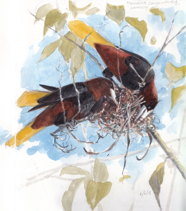 "Female Chestnut-headed oropendolas working together on a new nest, which will, when finished, dangle under the branches like full Christmas stockings. Watercolor over pencil, drawn through field scope. Barro Colorado Island, Panama. 10"" x 11"" (across two pages), Stillman & Birn Alpha Series sketchbook."