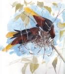 Chestnut headed Oropendolas Nest weaving