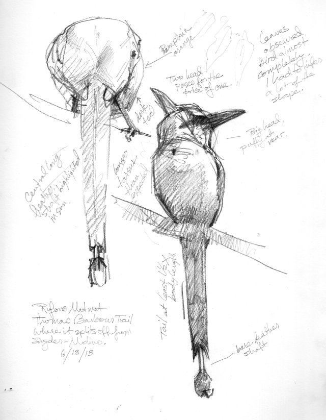 "Rufous motmot, seen from far below, hiding behind a screen of leaves, which have been edited out. Had to sit on a tree root and look up to sketch it, which I'm not complaining about at least not until the chigger bites take hold. Then I'll gripe. 6B pencil on Robert Bateman 8 1'2"" x 11"" sketchbook. Barro Colorado Island, Panama."