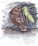 Slaty Antshrike and Katydid