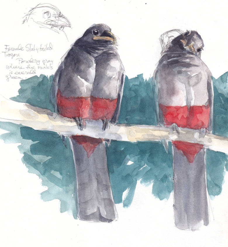 Slaty tailed trogon, sketched through scope, Barro Colorado Island, Panama 2013