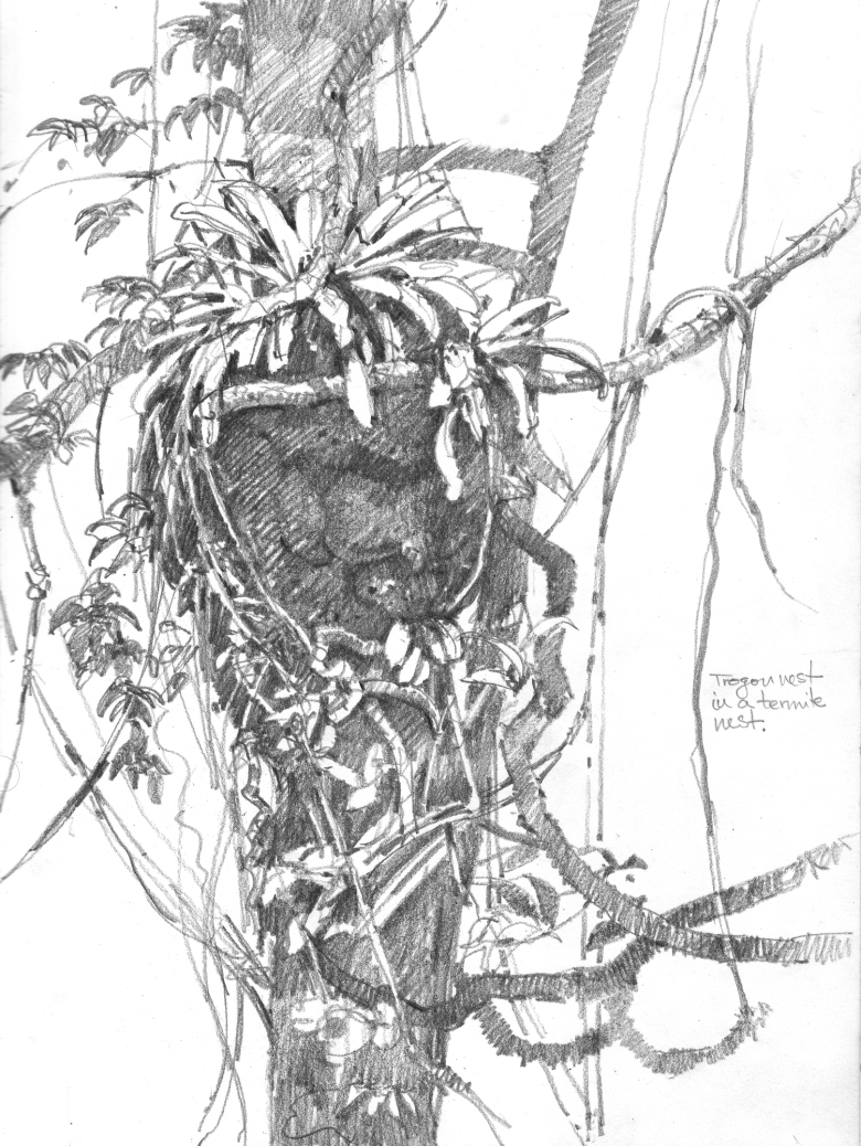Slaty-tailed trogon nest, a repurposed termite nest on the side of a liana covered tree, Barro Colorado Island, Panama 2013