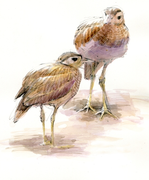 "Double striped thick-knees hobnob under a fruiting papaya in the Tulsa Zoo Rainforest Exhibit. Charming birds of open savannah, but they look great here in the understory. And so cute. Watercolor over pencil, 8 1/2"" x 11""."