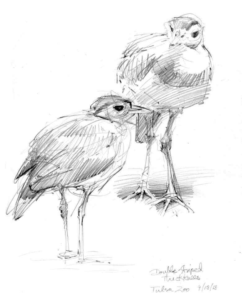 "Double-striped thick knees, Tulsa Zoo. Pencil on 8 1/2"" x 11"" Stillman & Birn Epsilon Series sketchbook."