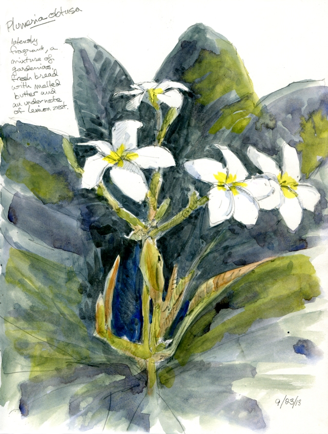 "Plumeria obtusa, Myriad Gardens. Pinwheel flowers perfumed like a demon whore. Watercolor over pencil, 8 1/2"" x 11"" Stillman & Birn sketchbook."