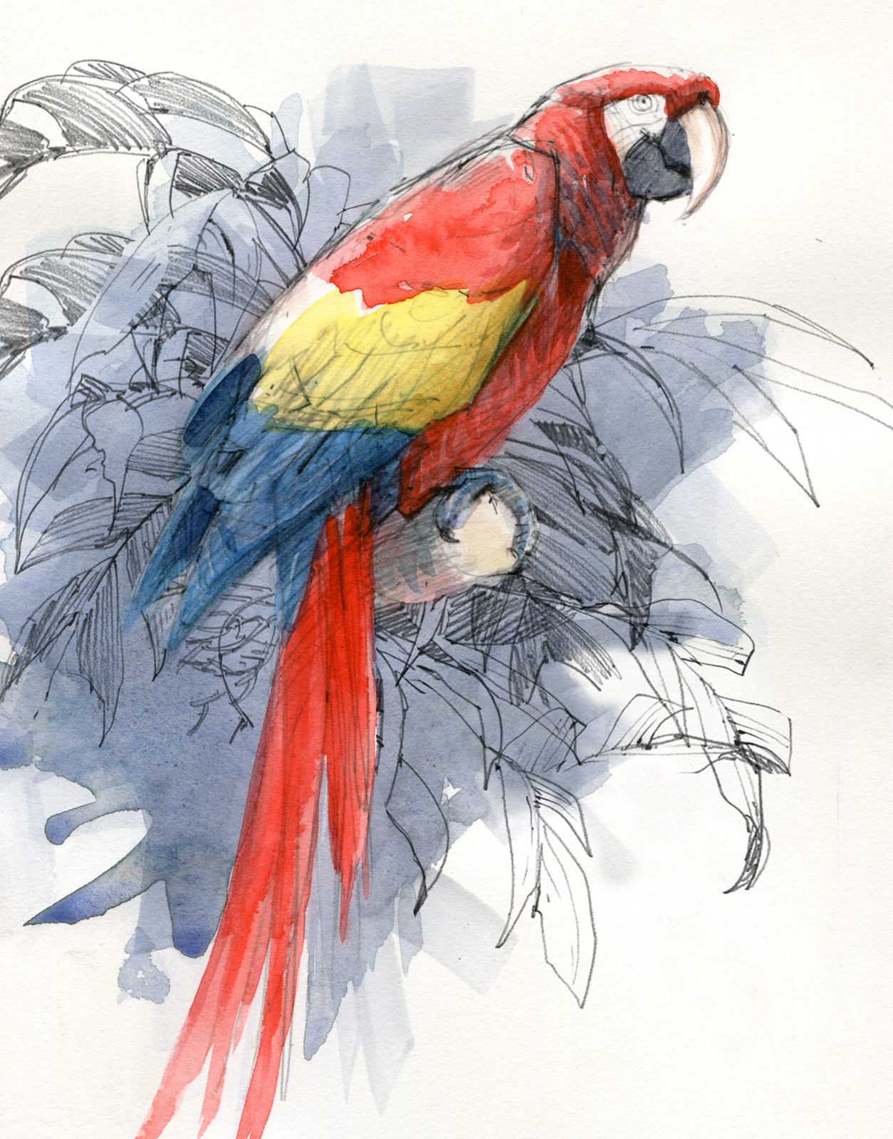 Scarlet macaw a donated former pet that says hullo and buh