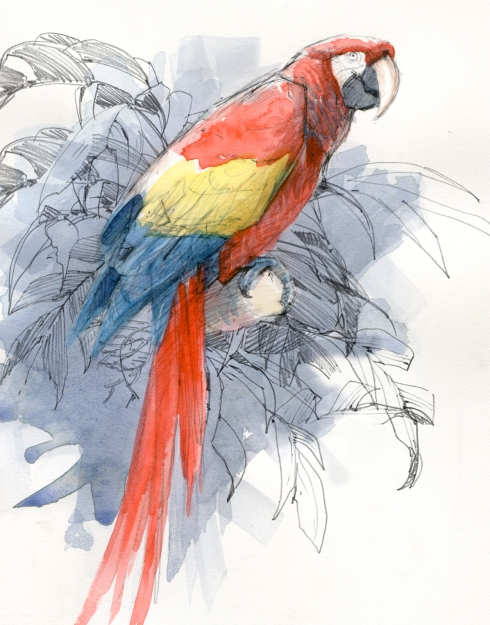 "Scarlet Macaw, a donated former pet that says, ""hullo"" and ""buh-bye"". As ambassador to the rainforest, it clearly straddles the perch between animal and human behavior. Watercolor over pencil, 8"" x 10""."