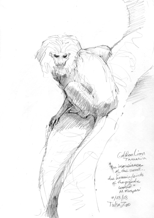 "Golden-headed lion tamarin. A pair inhabit the island in the rainforest pond at the Tulsa Zoo. They are committed to looking adorable, like a cross between a monkey and a kitty cat. And they sing like birds. Pencil on paper, 8 1/2"" x 11""."