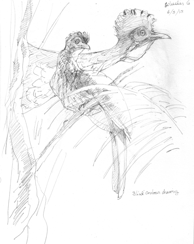 "Here's the original sketch. This guan sat on a vine in a clearing, honking and looking this way and that, but basically staying put. Lucky me. What struck me most was how brightly the wattle glowed in the understory shadows- a red lantern in the dark. That became the focus of the composition. Pencil sketch, 8 1/2"" x 11"""