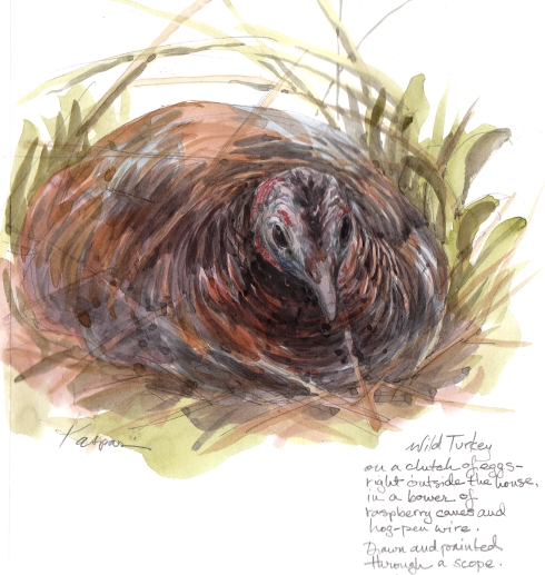 "Wild turkey hen on nest, Petersham, MA. She was surrounded by raspberries, not cranberries as is traditional. Watercolor over pencil, 8 1/2"" x 11""."