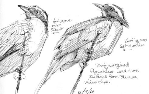 Trying to make sense of a head pose, drawing from videos. Rusty margined flycatchers have insanely flexible necks. Like pretty much any bird. But this is a good illustration of what they can do with it.
