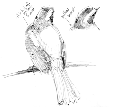 Catching a few more head poses of a rusty margined flycatcher, drawn from a video taken on Barro Colorado Island last May.
