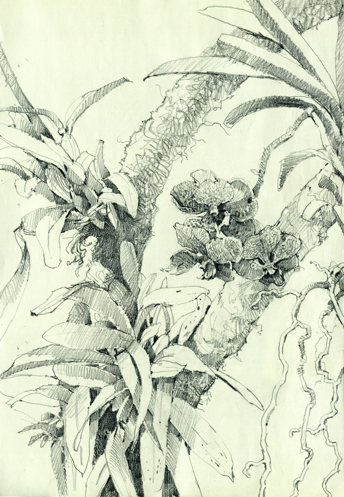 Orchid Plant Drawing Vanda Orchid Drawn at The