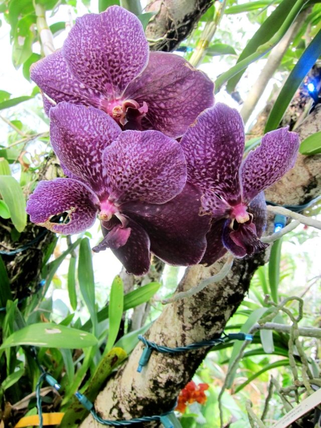 "Vanda orchid, ""Robert's Delight Big Black"". It grows from a small basket hanging in the air under a live tree branch at the Myriad Botanical Garden Tropical Conservatory in OKC."