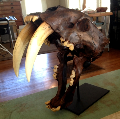 "Smilodon californicus, sabertooth cat replica skull with tar pit finish. Measures 14 1/2"" long, and those sabers are 6"". Best Christmas gift ever- thank you Ant Man!"