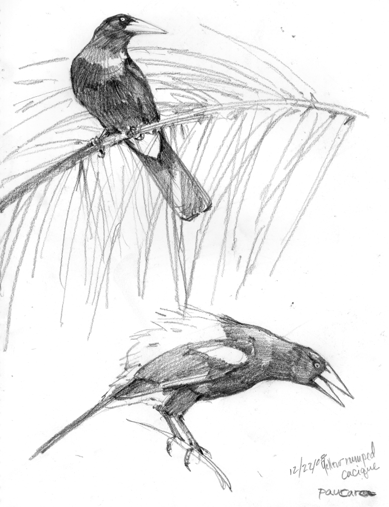 These yellow rumped caciques were sketched in action at a scientific field station in the Peruvian Amazon. They hung out in the palm fronds all day and made great noises (see audio clip below), at least the males did. The painting, I've Heard That Song Before, depicts the ritualistic song and dance the males perform before indifferent females. Rough life.