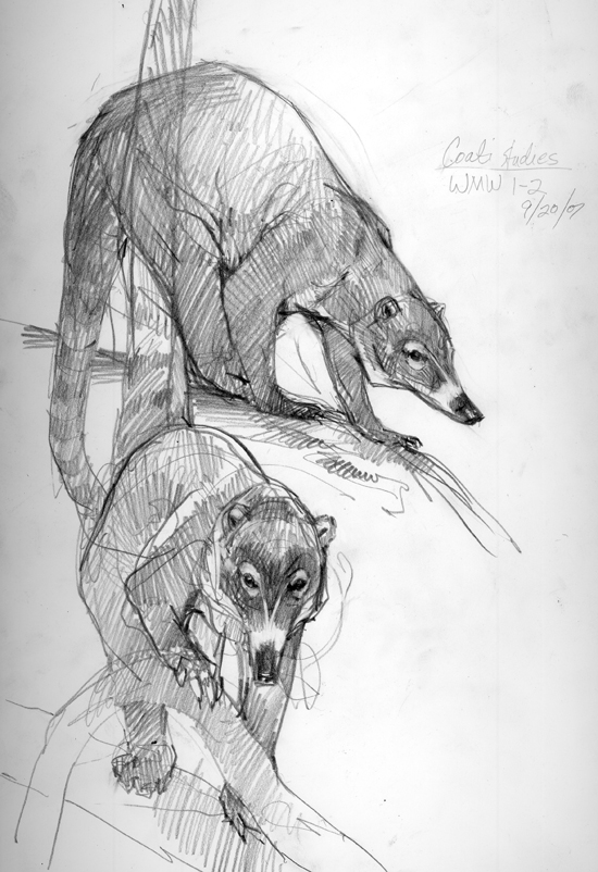 Coatimundis sketched on Barro Colorado Island, Panama. They are raccoon relatives, inquisitive with long rubbery noses and claws for digging up bugs.