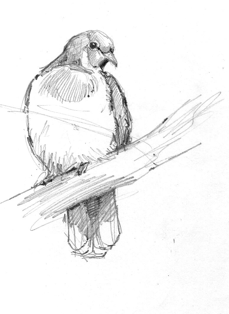 This is a Jambu fruit dove, found Old World tropics, but I drew it in the Oklahoma City Zoo's aviary.