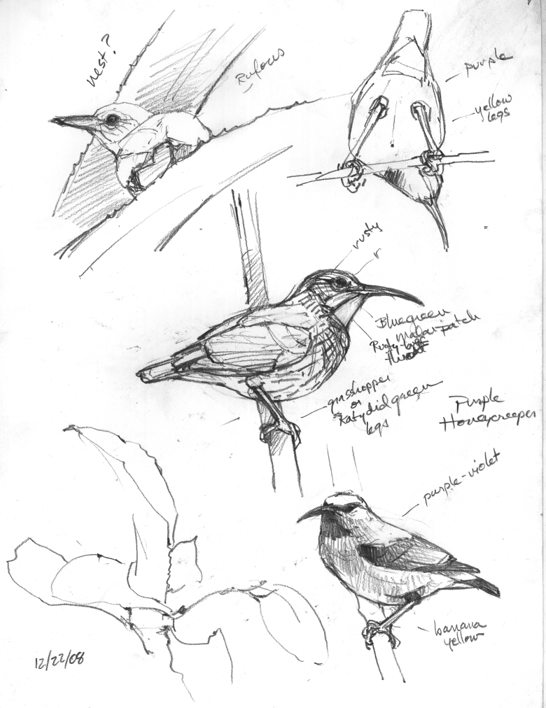 Studies in the air: purple honeycreepers (see lower right corner of this painting) sketched from the top of a tree in the Amazon.