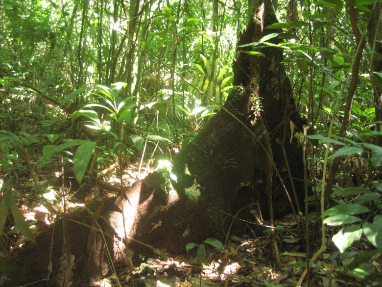 An Amazon forest tree dies and returns, gradually to the soil that gave it life.
