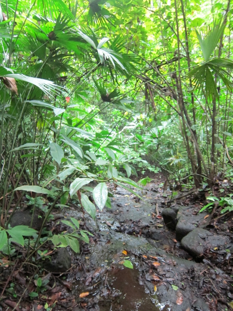 An understory stream on Barro Colorado Island, and a rufescent tiger heron hangout.