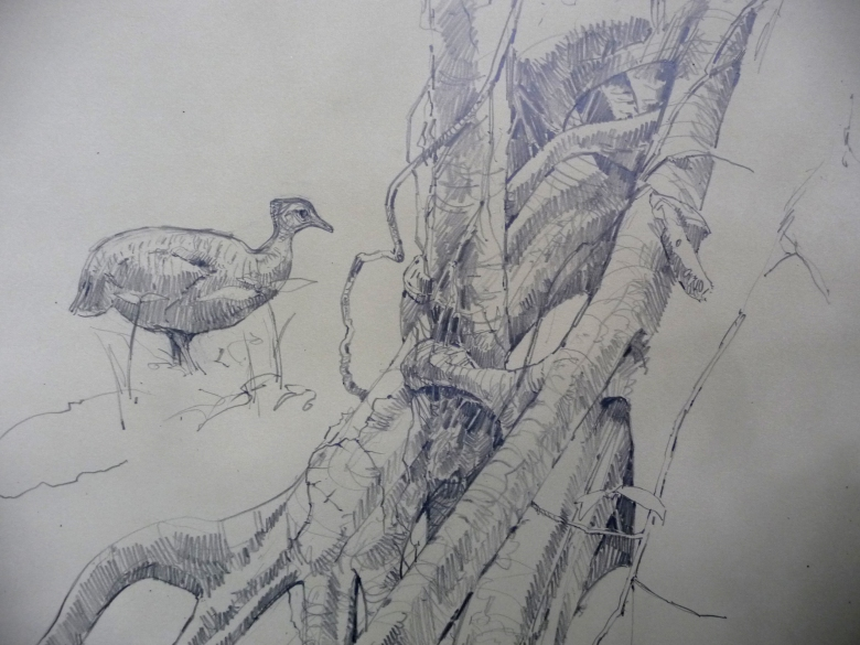 In progress, was drawing this cecropia tree's root structure (and a dead tree that it was growing around as support) when a wild great tinamou strolled into the picture, saw me and froze. It held the pose for several minutes and finally relaxed and walked a few feet away, lay down and took a nap. Stuff like that is golden.
