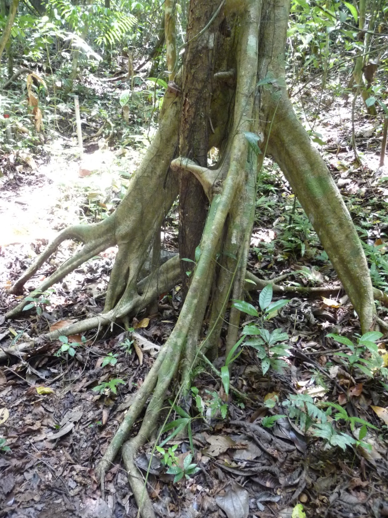 "This is the root system of the cecropia, a ""pioneer"" tree that shoots up whenever a light gap opens in the canopy. Its roots look like legs; the tree might just get up and walk away at any time. Barro Colorado Island, Panama."
